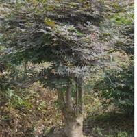 供应乔木灌木 种子种苗 树木盆景 红枫