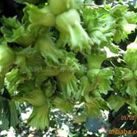 抗寒果树  耐零下40度低温 黑龙江 吉林 新疆栽植已获成功