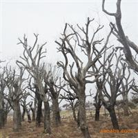 供应古树名木:唐梨、皂角、五角枫等苗木