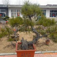 供应黑松树木盆景(图)