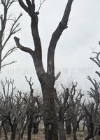 供应 香椿古树 40公分