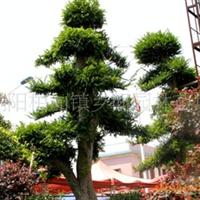 供应原生榆树 绿化苗木 乔木