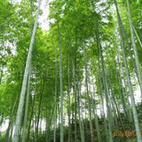 绿化观赏竹,雅俗共赏,毛竹,楠竹
