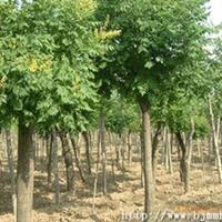 大量供应优质栾树 栾树苗 价格从优