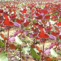 供应优质中华红叶杨(图)  四川省最大的红叶杨基地