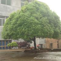桂花树,八月桂,供应园球八月桂