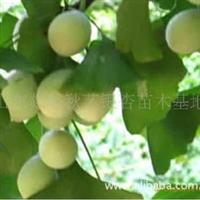 银杏苗木基地直供优质银杏树 园林绿化工程专用苗