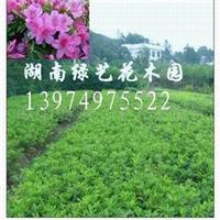 供应湖南灌木杜鹃-春鹃-毛鹃-紫鹃