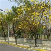 福建漳州绿化苗木黄花风铃木