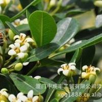 福建漳州芳香花卉白玉兰桂花七里香绿化苗木价格