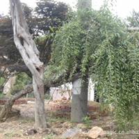 枸杞树 各种规格优质  结红果可药用