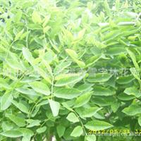龙爪槐 供应精品以及造型奇特的树