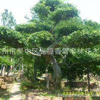 榆树 苏州地区销售 特殊造型大规格 苗木