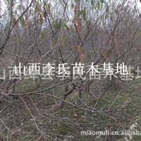 桃树|山桃树种植毛桃树种植|丛生桃树山西桃树占地桃树价格