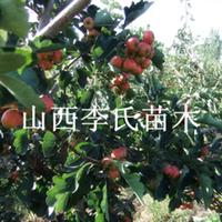 【山楂红了】大金星山楂 大五棱山楂早熟山楂批发 山楂产地供应