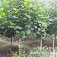 紫玉兰 玉兰树 黄玉兰 白玉兰 专供观赏树 行道树 园林绿化苗木