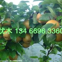 山西优质梨树苗木批发 出售梨树苗 欢迎咨询