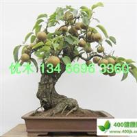 梨树苗批发 优质梨树苗木 梨树新品种 出售