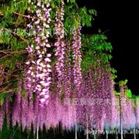 【景致园艺】〖紫藤〗等品种苗木花木质优低价出售