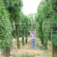 供应各种 龙爪槐 苗木 八爪树