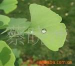 花木之乡-大量供应优质各类优质绿化苗木-绿化苗木-苗圃
