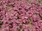 大量供应优质绿化苗木---彩叶草