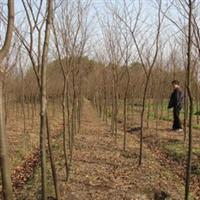大量供应优质绿化苗木榉树8-30