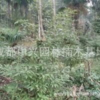 供应成都本地1米以上金丝楠木树苗