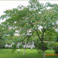 湖北襄樊襄阳苗圃场供应合欢树合欢花合欢种子绿化苗木苗圃苗木
