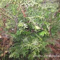 四川成都乐山出售红豆杉小苗 南方红豆杉树苗 美国红豆杉种子