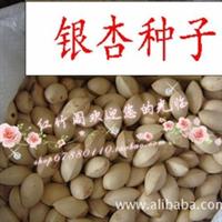 特价销售 银杏种子 又名:白果种子 果树种子直销 发芽率极高