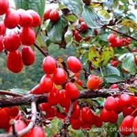 供应山茱萸山萸肉茱萸|优质山茱萸|山萸肉|山芋肉|山茱萸价格