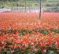红叶石楠小苗