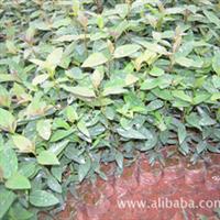 [特价0.15元/株]常年大量供应品种优良的巨桉树苗
