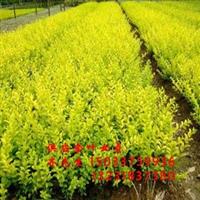 供应速生柳、国槐、金叶榆、刺槐、榆树、等绿化苗木