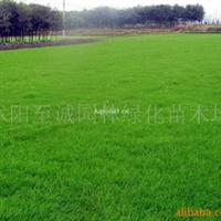 批发草种,草坪-早熟禾、高羊茅、黑麦草等(图)