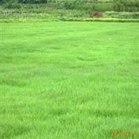 批发草种,草坪-白三叶、红三叶、百喜草、马尼拉(图)