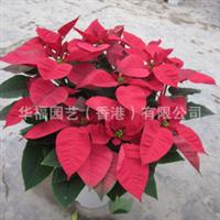 特价优质观赏植物一品红(圣诞花) 广州华福园艺花卉盆栽批发
