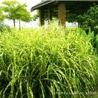观赏草细叶芒 成都细叶芒基地 水生植物细叶芒 承接工程