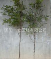 红豆杉基地  红豆杉工程苗 红豆杉树苗 高2米左右