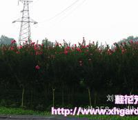 大红紫薇 苗木基地 赤薇 百日红 4CM