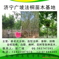 供应济宁法桐、垂柳。楸树苗木(图)