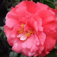 基地批发 茶花苗 彩色茶花小苗 进口品种茶花 盆栽苗--爱丽牡丹王