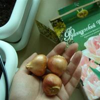 供应进口郁金香,郁金香种球,荷兰郁金香种球、洋荷花、郁香