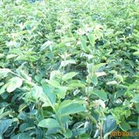 供应果树种子种苗柿子苗