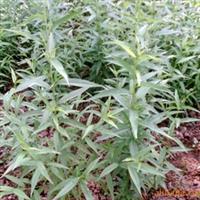 供应果树种子种苗实生桃苗