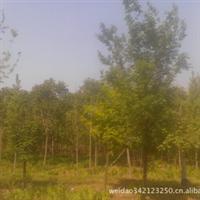 河北省保定市园林苗木出售1-20公分五角枫及各种苗木花卉