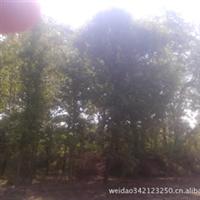 河北省保定市园林苗木出售1-25公分银杏及各种苗木
