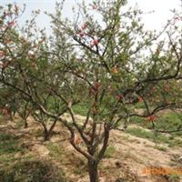 北京卖各种果树苗木出售占地数秒出售各种果树品种苗