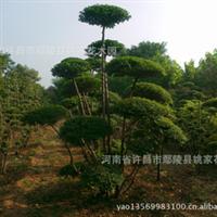 供应小叶女贞造型,造型景观树,绿化造型树 园林设计